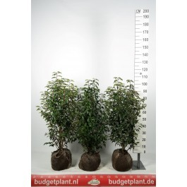 portugiesischer kirschlorbeer 100 125 cm prunus lusitanica 39 angustifolia 39. Black Bedroom Furniture Sets. Home Design Ideas